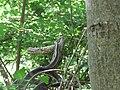 Smuk, Zamenis longissimus, Sićevačka klisura (2).jpg