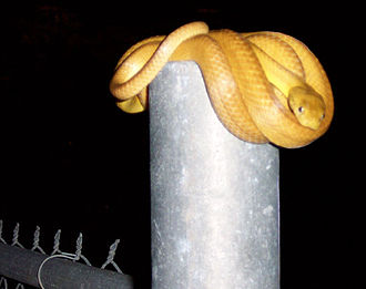 Brown tree snake - Brown tree snake on a fence post on Guam