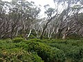 Snow Gums in Baw Baw National Park.jpg