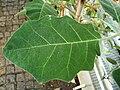 Solanum pseudolulo leaf.jpg