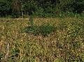 Solanum umalilaense PhytoKeys-016-065-g003H.jpg
