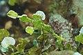 Solenostomus halimeda, Sorong.jpg