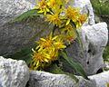 Solidago virgaurea ssp. minuta PID1780-2.jpg