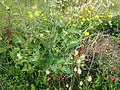 Sonchus oleraceus 108102244.jpg
