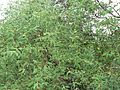 Sonneratia mangrove (537073214).jpg