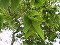 Sophora japonica Linn. f. oligophylla Franch.jpg