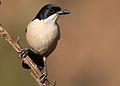 Southern Boubou, Laniarius ferrugineus, at Walter Sisulu National Botanical Garden, Gauteng, South Africa (29480684326).jpg