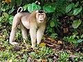 Southern Pig-tailed Macaque (13970539808).jpg