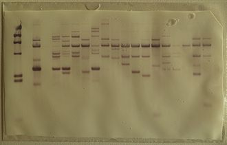 Southern blot - Southern blot membrane after hybridization and rinsing.
