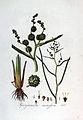 Sparganium ramosum — Flora Batava — Volume v3.jpg