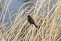Sparrow On Dry Grass (194835981).jpeg