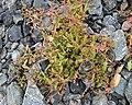 Spear-leaved Orache (Atriplex prostrata) - Oslo, Norway 2020-09-16.jpg