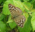 Speckled Wood butterfly 800.jpg