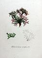 Sphaerococcus crispus — Flora Batava — Volume v8.jpg