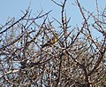 Spinus barbata (Black-chinned Siskin) (48338220316).jpg
