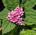Spiraea japonica (flower).JPG