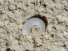 Empty shell of Spirula spirula