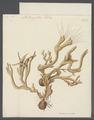 Spongia coalita - - Print - Iconographia Zoologica - Special Collections University of Amsterdam - UBAINV0274 112 02 0003.tif