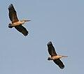 Spot-billed Pelican (Pelecanus philippensis) at Garapadu, AP W IMG 5357.jpg