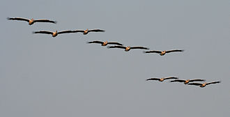Spot-billed pelican - Flocks fly in formation