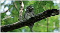 Spotted Owlet (Athene brama) by Dharani Prakash.jpg