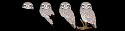 Spottes Owlet-making.png