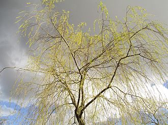 Spring (season) - A willow in Stockholm in April 2016