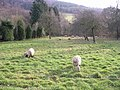 Spring lambs with Cows Hill Wood in the distance - geograph.org.uk - 293751.jpg