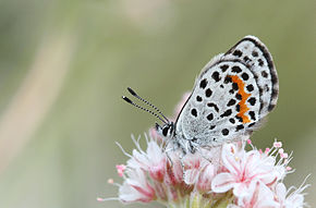 Description de l'image Square-Spotted Blue (Euphilotes battoides) 2.jpg.