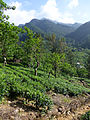 Sri Lanka-Province du Centre-Plantations de thé (1).jpg