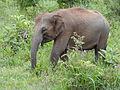 Sri Lankan Elephant in Hurulu Eco Park 33.JPG