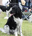 Stabijs - world dog show 2010 (4745820194).jpg