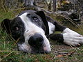 Staffordshire Bull Terrier - Labrador cross.jpg