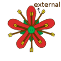 Stamen morphology cicly and position biseriate diplostemonous.png