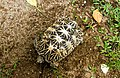 Star Tortoise (Geochelone Elegans) 04.jpg