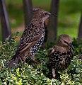 Starlings 2 (9923846655).jpg
