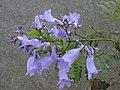 Starr-010419-0080-Jacaranda mimosifolia-flowers-Kula-Maui (24506107156).jpg