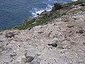 Starr-050404-0047-Eleusine indica-habitat and shearwater burrows-Mokeehia-Maui (24715276216).jpg