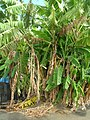 Starr-061108-9696-Musa x paradisiaca-Hawaiian Tall Apple habit-Hoolawa Farms-Maui (24775122701).jpg