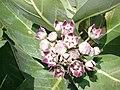 Starr-070207-4334-Calotropis procera-flowers-Maui Lani Kahului-Maui (24253967294).jpg