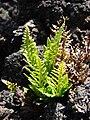 Starr-081014-0159-Asplenium adiantum nigrum-habit-Halemauu Trail Haleakala National Park-Maui (24899917926).jpg