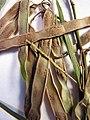 Starr-090625-1845-Acacia retinodes-voucher 090513 01-Waipoli Rd Kula-Maui (24336134354).jpg
