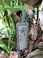 Starr-091104-8947-Piper postelsianum-plant tag-Kahanu Gardens NTBG Kaeleku Hana-Maui (24988370725).jpg