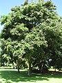 Starr-091104-9019-Adenanthera pavonina-habit-Kahanu Gardens NTBG Kaeleku Hana-Maui (24357897744).jpg