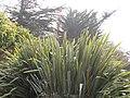 Starr-100503-5853-Phormium tenax-fruiting habit-Olinda-Maui (24410530193).jpg