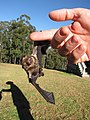Starr-100907-9062-Eucalyptus sp-habitat with Hawaiian hoary bat Lasiurus cinereus semotus-Olinda-Maui (24420731894).jpg