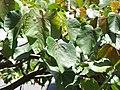 Starr-110330-4193-Ochroma pyramidale-leaves-Garden of Eden Keanae-Maui (25055034506).jpg