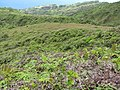 Starr-110924-9375-Nephrolepis exaltata-habitat view fence-Makamakaole-Maui (25021231971).jpg