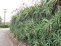 Starr-120403-4163-Aloe arborescens-habit and flowers deformed by mites-Kula-Maui (24511687923).jpg