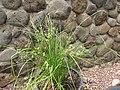 Starr-120504-5525-Cyperus trachysanthos-habit-Maui Nui Botanical Garden-Maui (25048922231).jpg